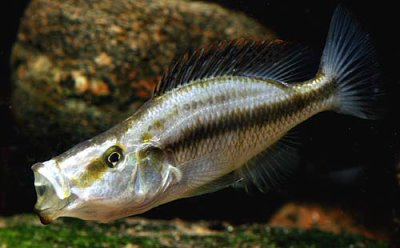 dimidiochromis compressiceps - Blog Cichlides